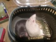 2 Ratten jungs