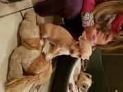 2 süße Chihuahua