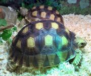 2 x Spornschildkröten -