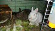 2 Zwerg Kaninchen