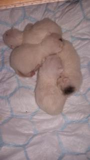 4 weiße Babysamtpfoten