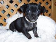 7 Chihuahuawelpen