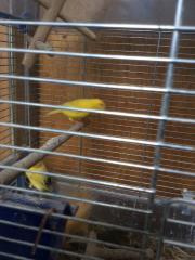 8 Kanarienvögel (gelb,