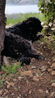 9 Kroatische Schäferhund-