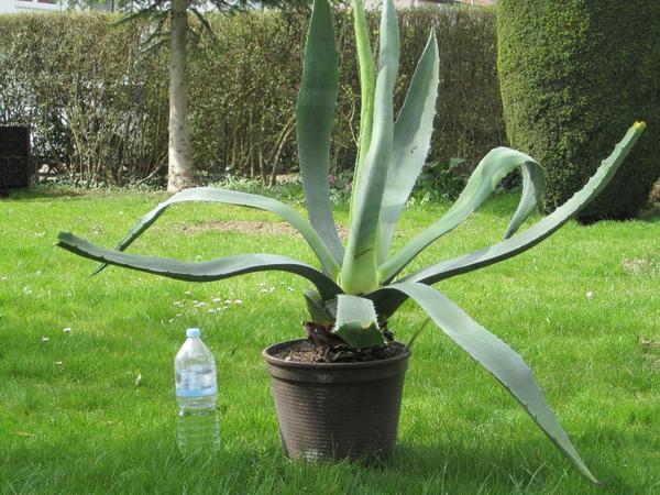 agave in ingolstadt pflanzen kaufen und verkaufen ber private kleinanzeigen. Black Bedroom Furniture Sets. Home Design Ideas