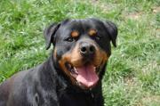 Apollo sucht eine Hunde erfahrene Familie Rottweiler, erwachsen, Rüde, aus Tierheim, für Hundeanfänger geeignet, Familienhund, kinderfreundlich. Apollo war im schlimmen Shelter Gladno Polje ... VHS D-89198Westerstetten Heute, 12:49 Uhr, Westerstetten - Apollo sucht eine Hunde erfahrene Familie Rottweiler, erwachsen, Rüde, aus Tierheim, für Hundeanfänger geeignet, Familienhund, kinderfreundlich. Apollo war im schlimmen Shelter Gladno Polje