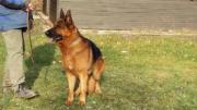Ausgebildeter, wunderschöner Schäferhund