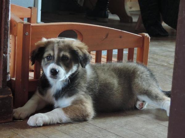 Australian Shepherd Mix Welpe In Hazembourg Hunde Kaufen Und Verkaufen 252 Ber Private Kleinanzeigen