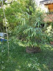 Bambus. Japanischer Pfeilbambus;