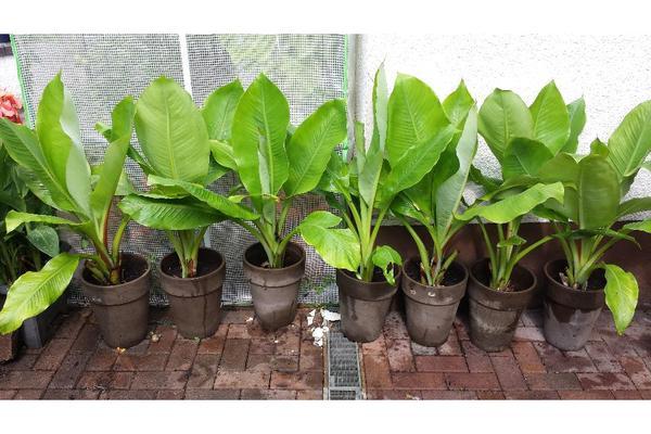 bananenpalme bananenpflanze ensete ventricosum in. Black Bedroom Furniture Sets. Home Design Ideas