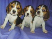 Beagle-Babies m.