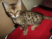 Bengal Katze ,Bengal