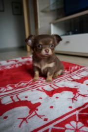 Bildhübscher Chihuahua Welpe (