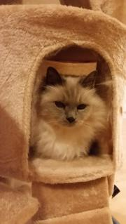 Birmakater und Katze
