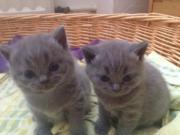 BKH Katzenbabys (Britisch