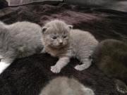 BKH Kitten,Babys,