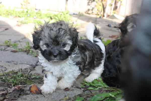 bolonka welpen keine malteser havaneser besser in balingen hunde kaufen und verkaufen ber. Black Bedroom Furniture Sets. Home Design Ideas