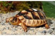 Breitrand-Schildkröte-Zwergform,