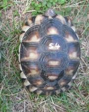 Breitrandschildkröte 4 Jahre,