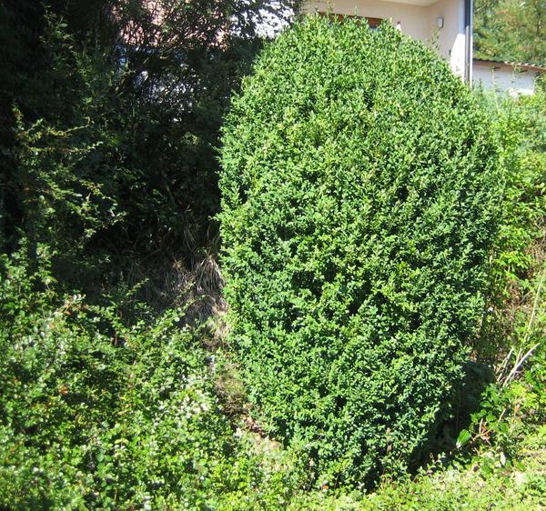 buchsbaum pflanzen abstand buchsbaum pflanzen im sp tsommer ist der beste zeitpunkt buchsbaum. Black Bedroom Furniture Sets. Home Design Ideas