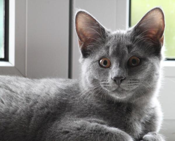 chartreux kart user kitten potsdam berlin katzen kaufen und verkaufen ber private kleinanzeigen. Black Bedroom Furniture Sets. Home Design Ideas