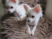Chihuahua-Bolonka-Mischlinge
