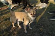 Chihuahua-Deckrüde (Kein