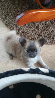 Chihuahua welpe langhaar