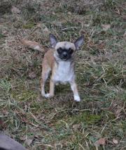 Chihuahuahündin Quendy mit