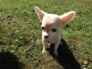 Chihuahuamädchen sucht Zuhause