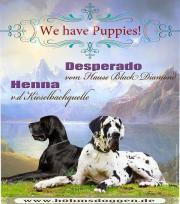 Deutsche Doggenwelpen mit