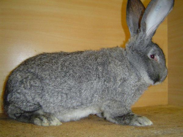 deutsche riesen kaninchen in wildhasengrau und chinchillafarbig in gerlingen sonstige. Black Bedroom Furniture Sets. Home Design Ideas