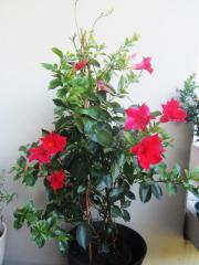 Dipladenia, Dendrobium, Christrose,