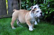 Engl. Bulldoggen in