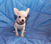 Extra Mini Chihuahua