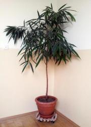 Ficus alii - Orleanderfeige -