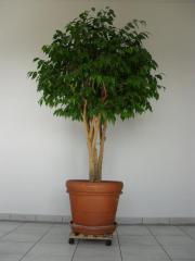 Ficus Benjamina ca.