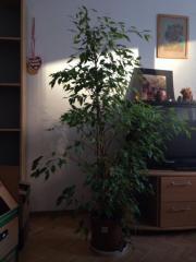 Ficus benji