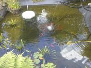 Gartenteichfische - Verschiedene Arten