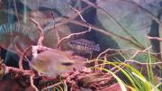 Gebe Parachromis Dovii