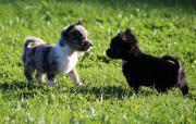 Gesunde sportliche Chihuahua