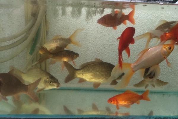 Goldfische fisch kleinanzeigen tiermarkt deine for Elritzen im gartenteich