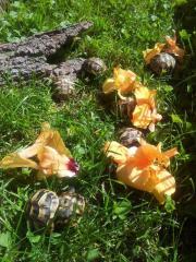 Griechische Babylandschildkröten