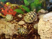 Griechische Landschildkröten 13-