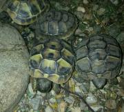 Griechische Landschildkröten hell