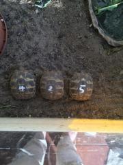Griechische Landschildkröten zu