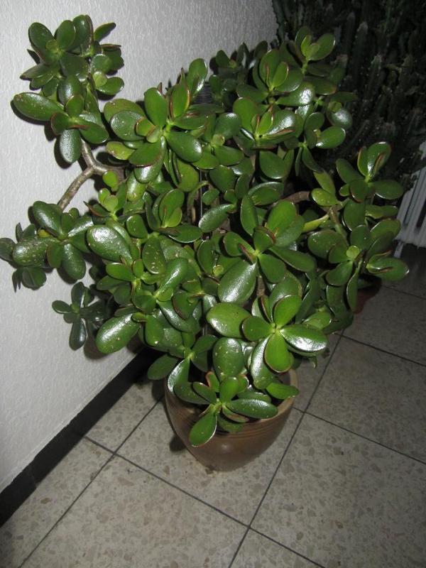 Zimmerpflanzen neu und gebraucht kaufen bei for Zimmerpflanzen dekorativ