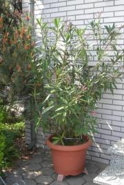 großer Oleander im