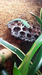 Himmelblaues Zwergtaggecko-Weibchen