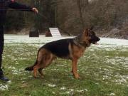Junger Schäferhund zu